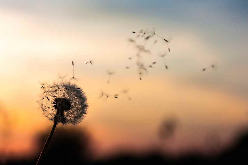 A photo of a dandelion clock, seeds drifting into the sky. Photo by Dawid Zawiła on Unsplash