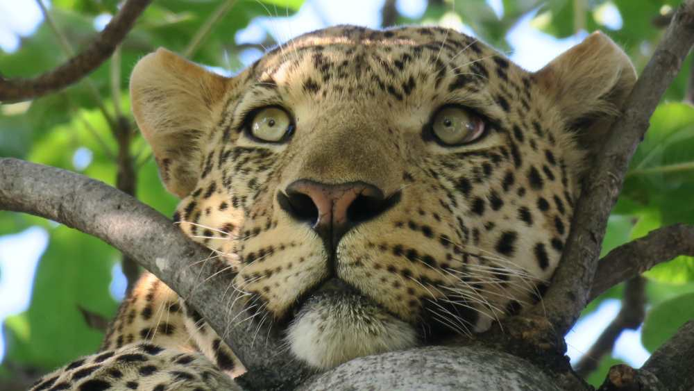 How did the leopard get their spots? We're fascinated by origin stories. Photo by Leo D'Amico on Unsplash