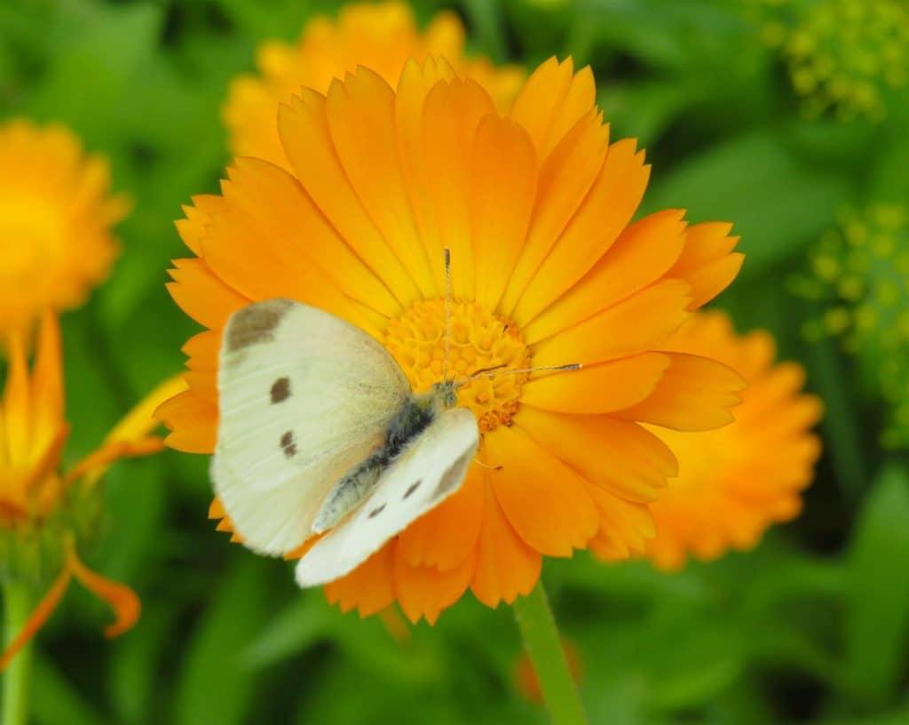 A calendula flower