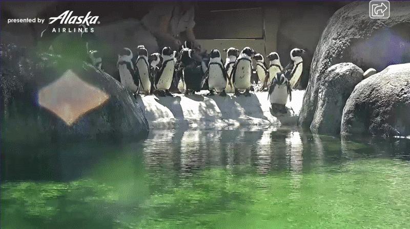 A screenshot of penguins at San Diego Zoo