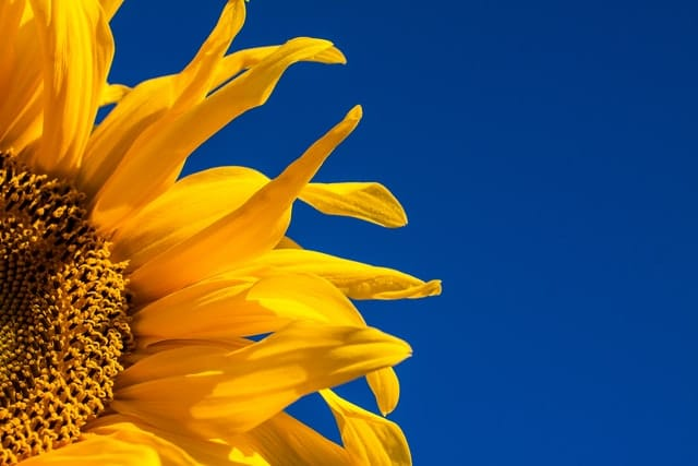 A single bright yellow sunflower against a bright blue sky. Photo by Johan Nilsson